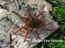 Theraphosa blondi juvenil